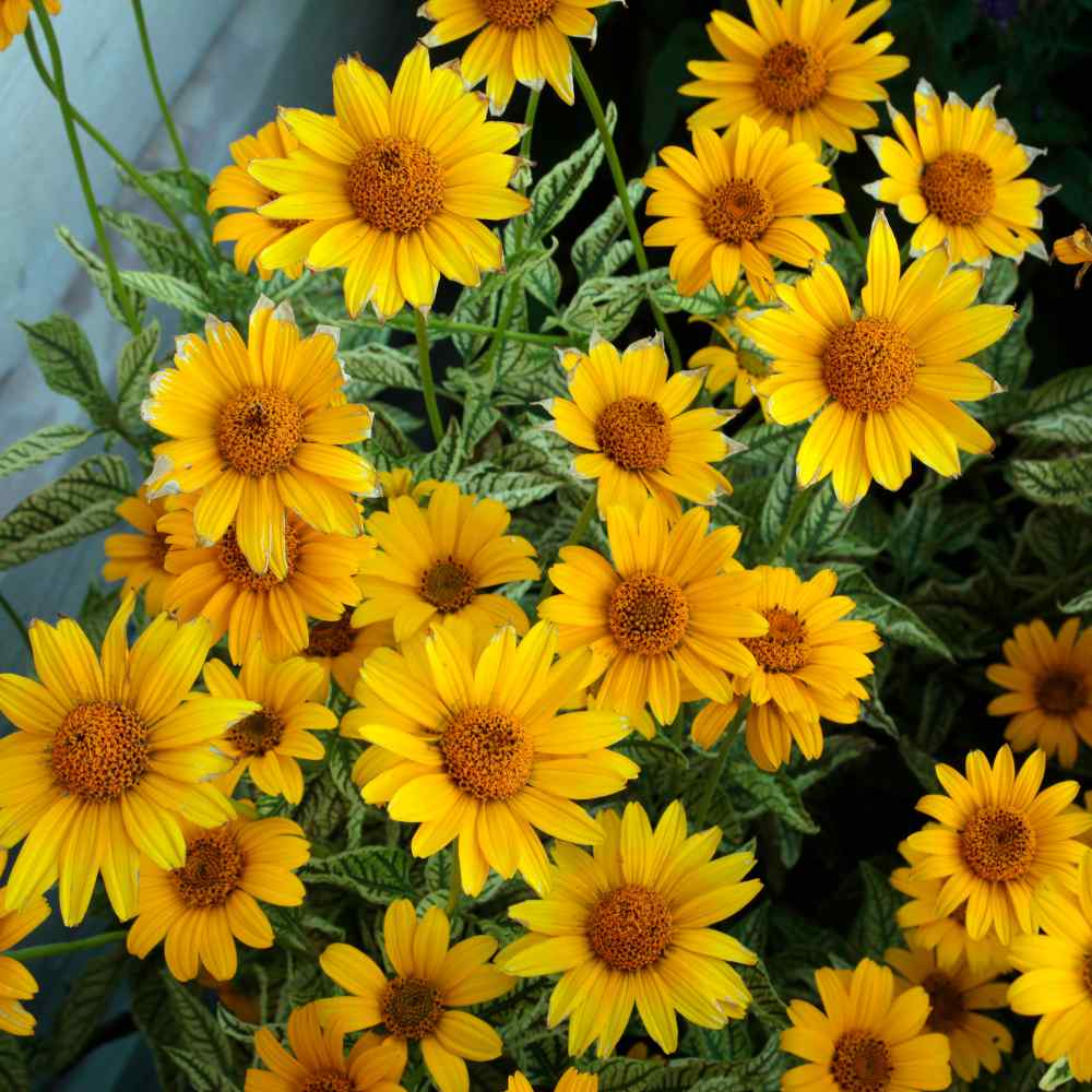 Heliopsis Yellow Flowers