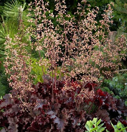 Heuchera Melting Fire Seed