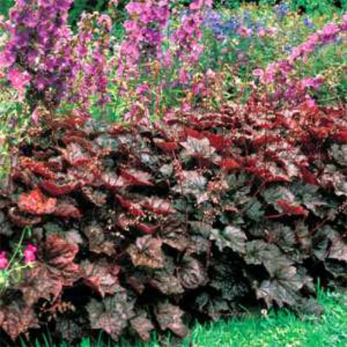 Heuchera Palace Purple Seed