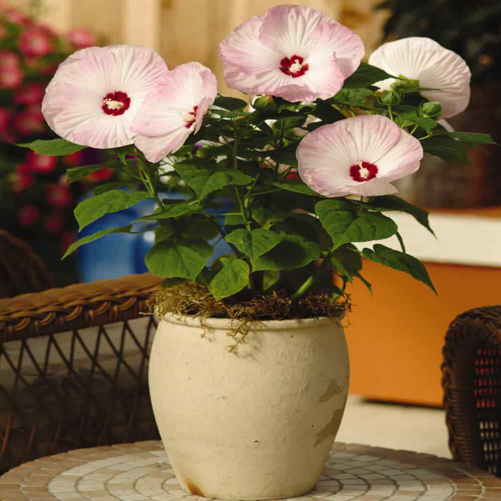 Hibiscus Luna Pink Flower Seeds For Container Gardening