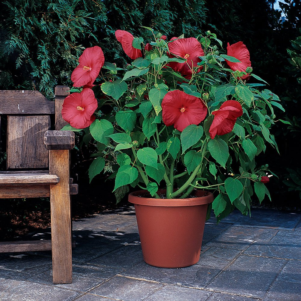 Hibiscus Seed Luna Red Hardy Hibiscus Flower Seeds