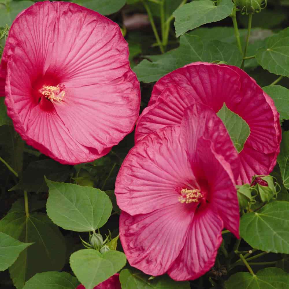 Hibiscus Luna Rose Container Plant Seeds