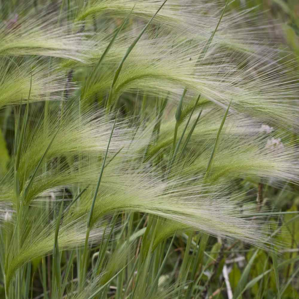 Hordeum Ornamental Grass