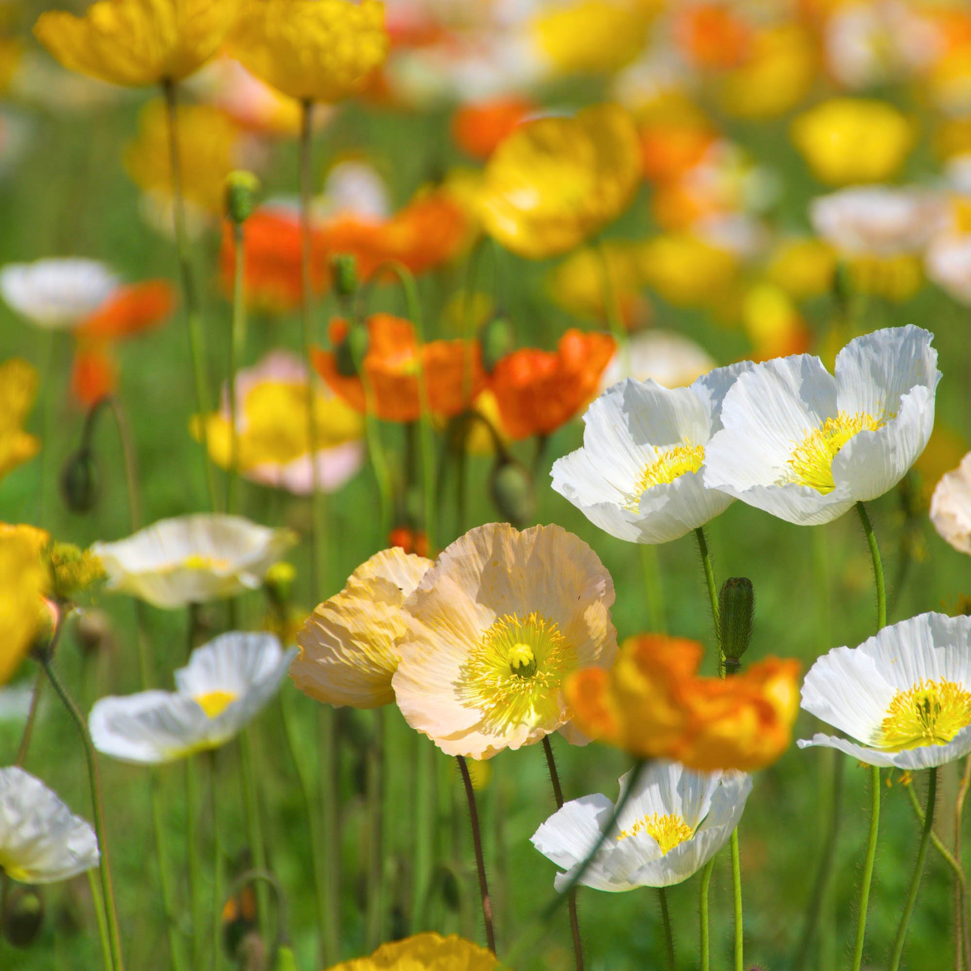 Iceland poppy seeds poppy wildflowers seed iceland poppy papaver nudicaule iceland poppy wildflowers are a wonderful source of exceptionally beautiful colors the poppy flowers nearly glisten in mightylinksfo