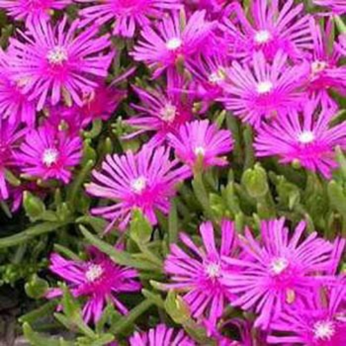 Ice Plant Groundcover Seed