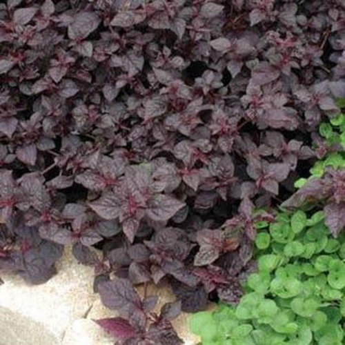 Iresine herbstii purple lady flower seeds for Ground cover plant with purple flowers
