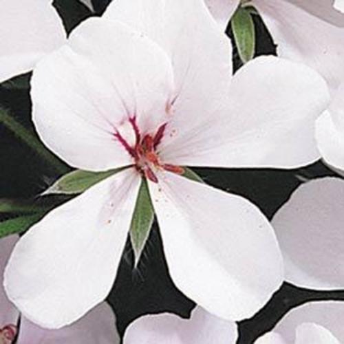 Ivy Leaf Geranium Seeds White