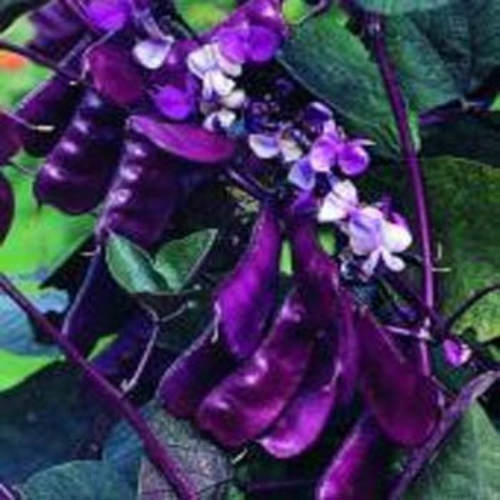 Hyacinth Bean Seed Red Leaved Hyacinth Vine Flower Seeds