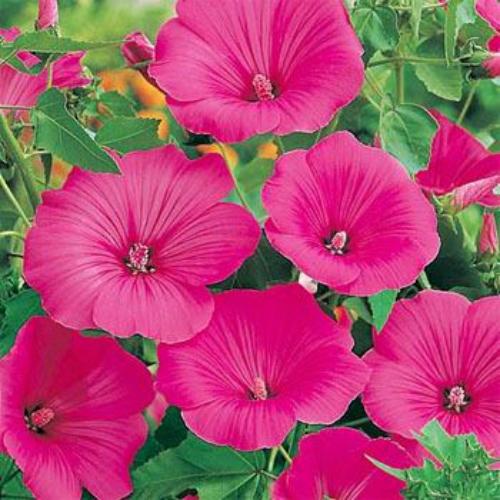 Rose mallow seeds lavatera trimestris loveliness flower seed rose mallow loveliness mightylinksfo