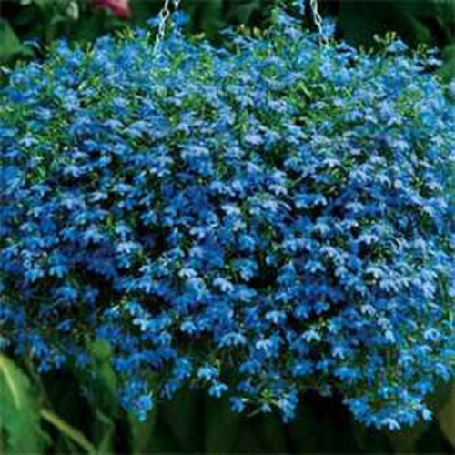 Lobelia Seeds Lobelia Erinus Blue Carpet Ground Cover Seed