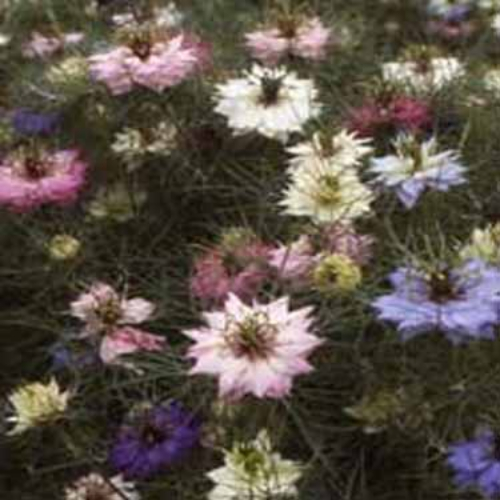 Nigella seeds love in a mist flower seed mix love in a mist flower seed mightylinksfo