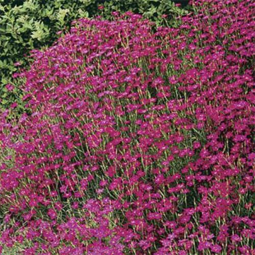 Dianthus Seeds Dianthus Deltoides Maiden Pinks Flower Seed
