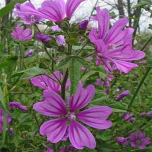 Merlin Hollyhock Flower Seed
