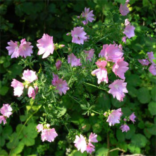 Hollyhock Seeds Malva Moschata Rose Musk Mallow Flower Seed