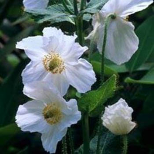 Poppy seeds white himalayan poppy flower seed white poppy flower seed mightylinksfo