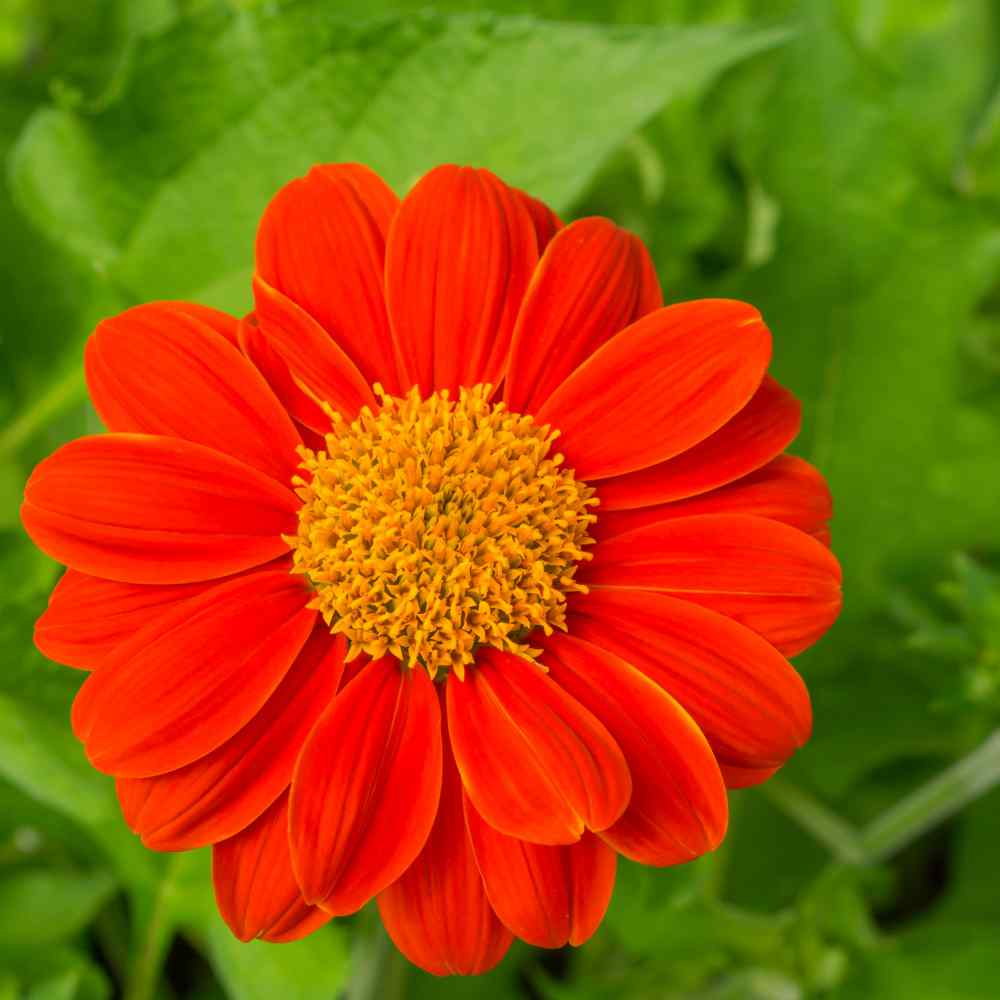 Mexican Sunflower Plants