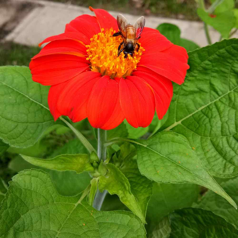 Tithonia Red Flowers