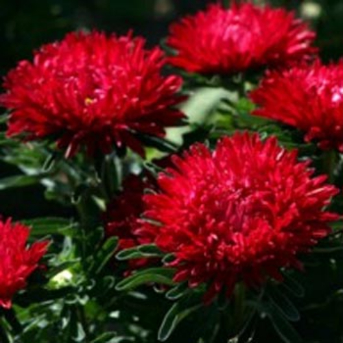 aster seeds  aster callistephus dwarf milady scarlet flower seeds, Beautiful flower