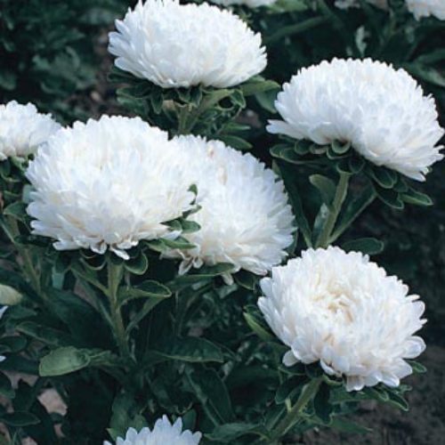 Aster seeds aster callistephus dwarf milady white flower seed aster milady white mightylinksfo