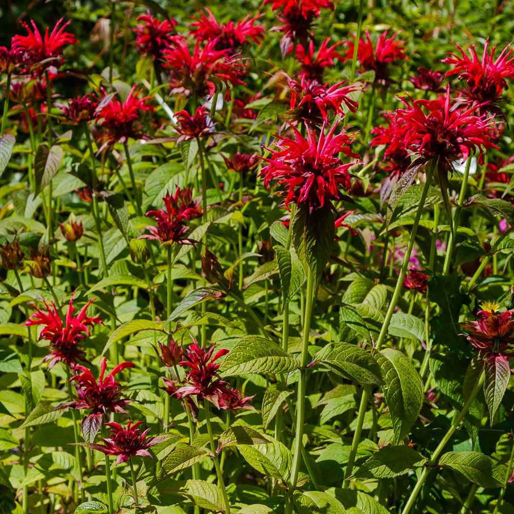 What Does Bee Balm Seeds - Etsy Mean?