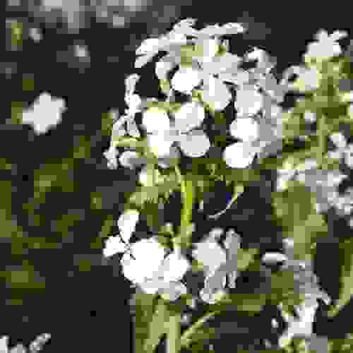 Money Plant Seed - White Silver Dollar Plant Flower Seeds