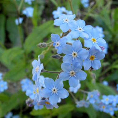 myosotis alpestris blue forget me not seed. Black Bedroom Furniture Sets. Home Design Ideas