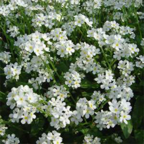 White Forget Me Not Flower Seed