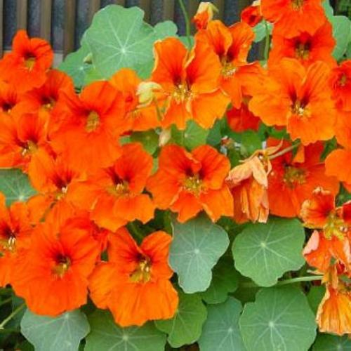 Growing Edible Nasturtiums