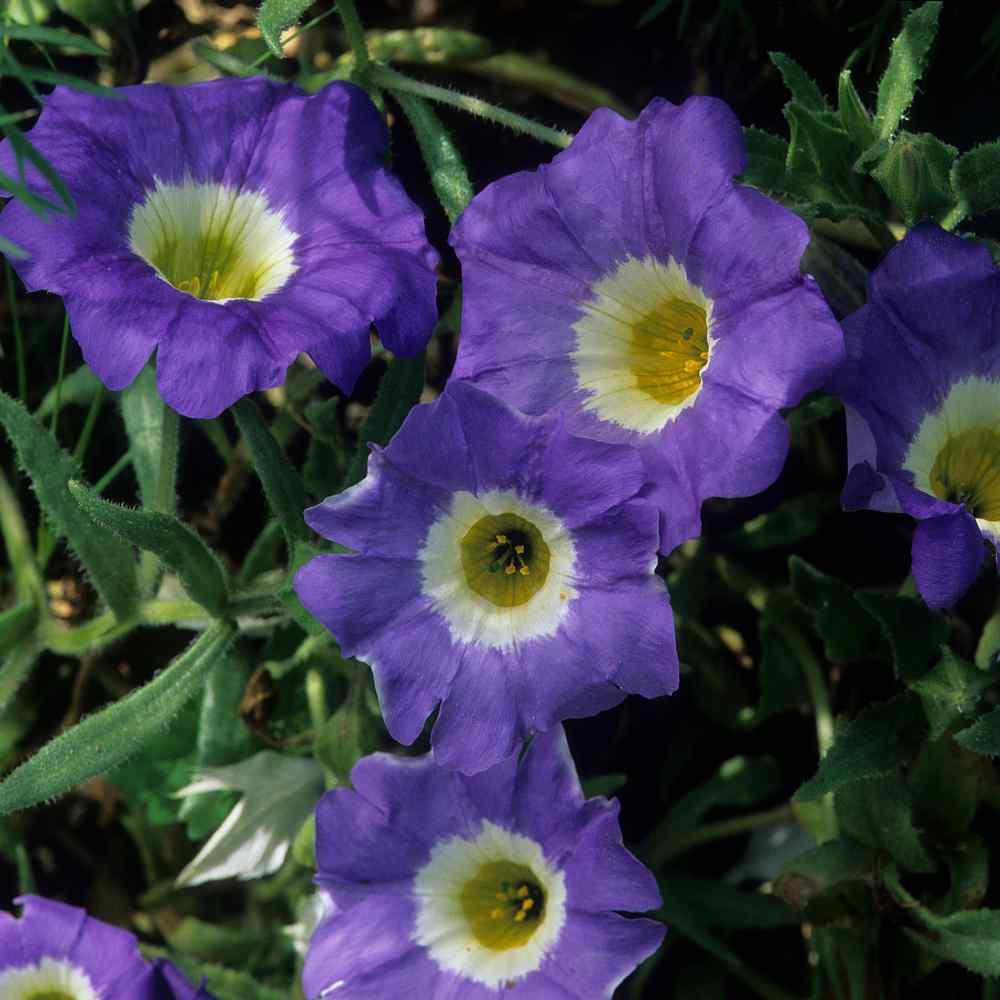 Nolana Paradoxa Blue Ground Cover Seed