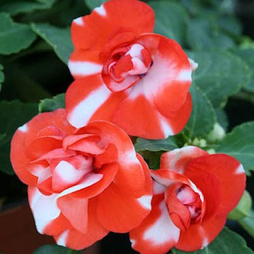 Impatiens Orange Flash