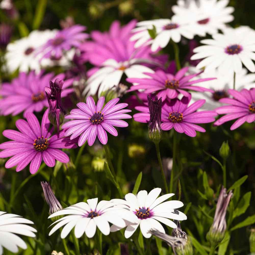 Magarita African Seeds Flowers Assorted Garden Osteospermum Dimorphotheca
