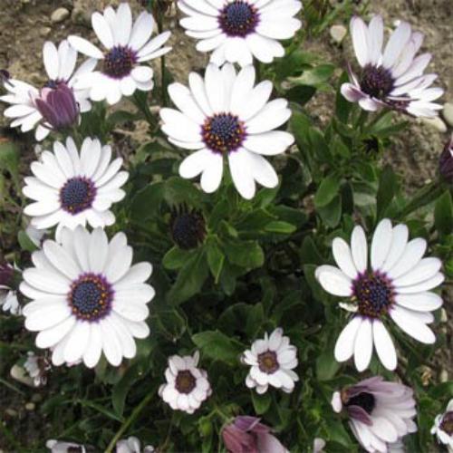 Osteospermum seeds osteospermum african daisy flower seed osteospermum ecklonis mightylinksfo