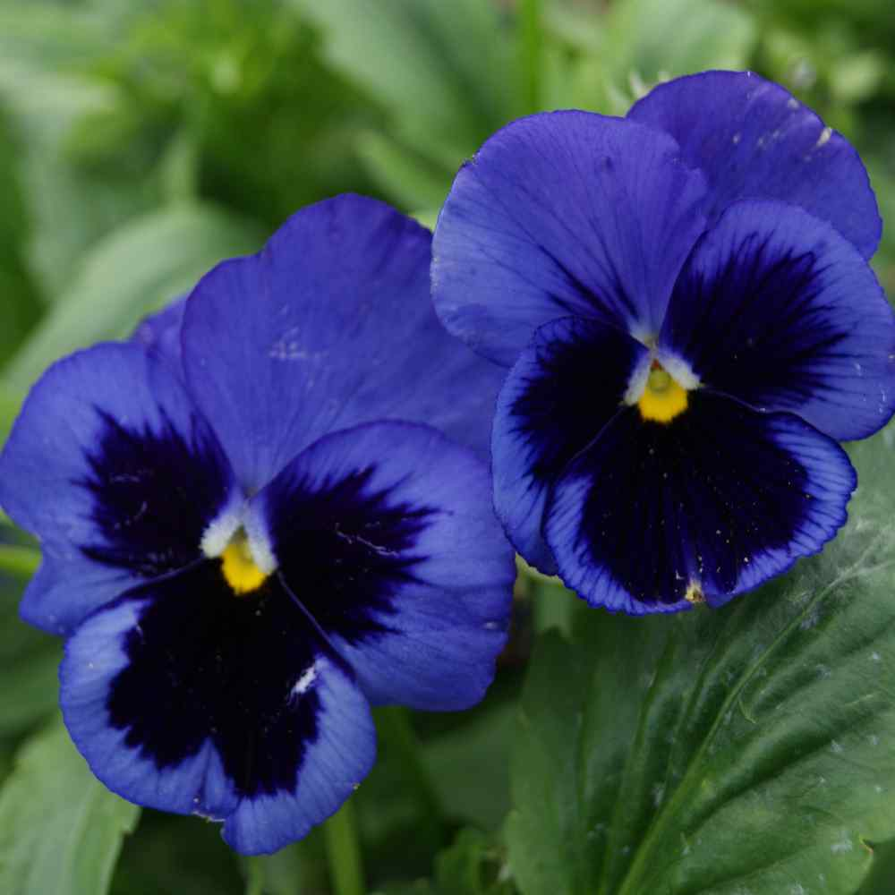 Pansy Seeds Pansy Ullswater Blue Flower Seed