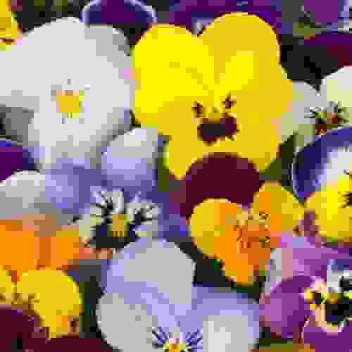 Pansy Seeds Velvet Pansy Flower Seed Mix