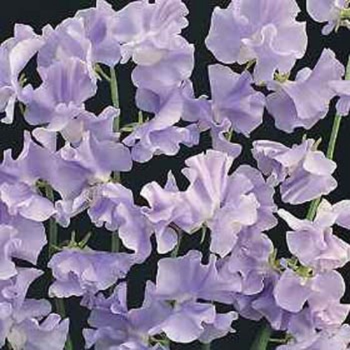 how to grow dwarf sweet peas in containers