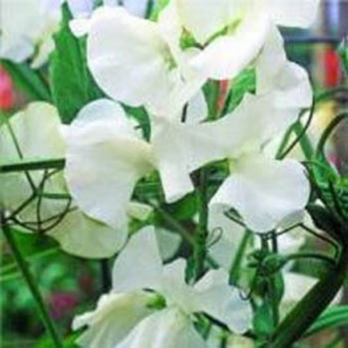 Sweet Peas Seed Royal White Sweet Pea Flower SeedsWhite Sweet Pea Flower