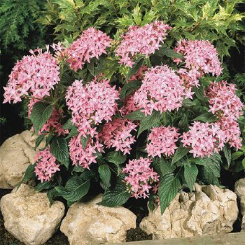 Pentas seeds pink egyptian star cluster flower seed pentas pink pentas lanceeolata graffiti pink grow pink star flower from pentas seeds for a striking plant that will be a beacon to butterflies mightylinksfo