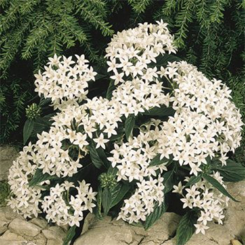 Pentas seed white pentas lanceeolata flower seeds pentas white pentas lanceeolata graffiti white no matter where you live you can grow pentas seeds in frost free zones pentas will live as a perennial mightylinksfo