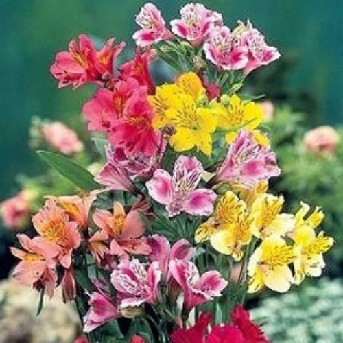 Peruvian Lily Seeds Alstroemeria Peruvian Lily Flower Seed
