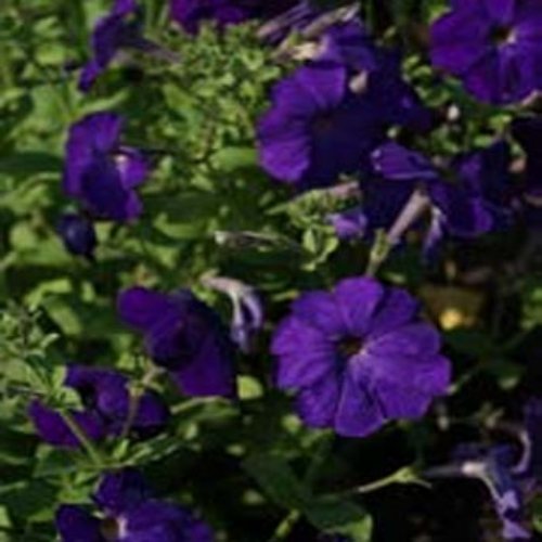 Petunia Alderman