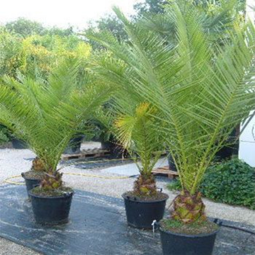 how to grow bottle palm tree from seed
