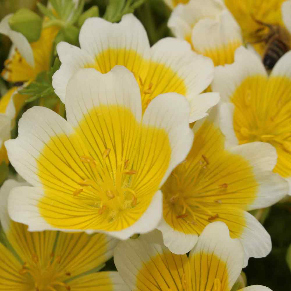 Limnanthes Douglasii Flowers