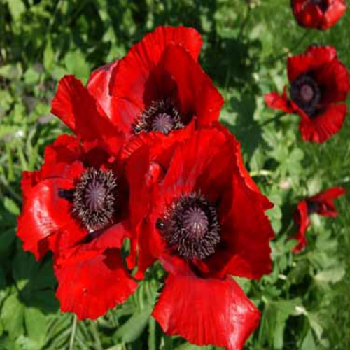 Oriental poppy seed beauty of livermore poppy flower seeds papaver orientale beauty of livermore mightylinksfo