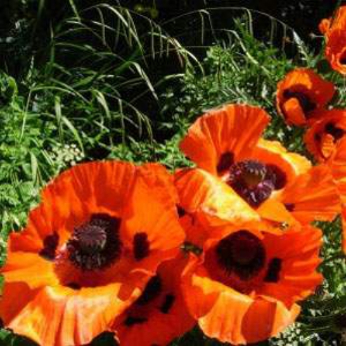 Poppy Seeds Oriental Orange Scarlet Poppy Flower Seed