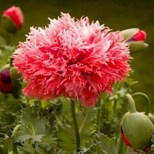 Peony Flowers on Peony Seed   Red Striped Peony Poppy Flower Seeds