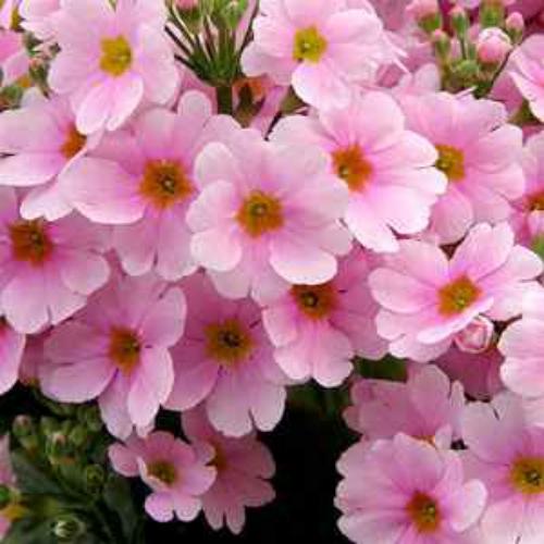 Fairy primrose seeds primula malacoides pink flower seed primula malacoides pink mightylinksfo