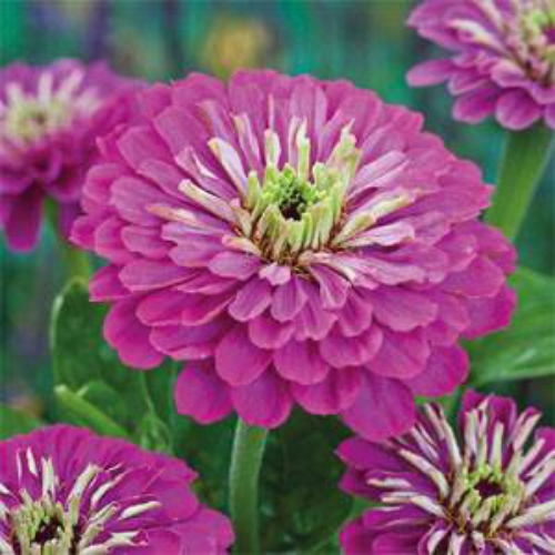 Zinnia Elegans Dahlia Flowered Purple Prince