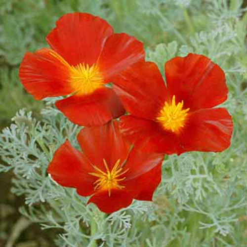 Poppy seeds red california poppy flower seed california poppy red chief mightylinksfo Choice Image