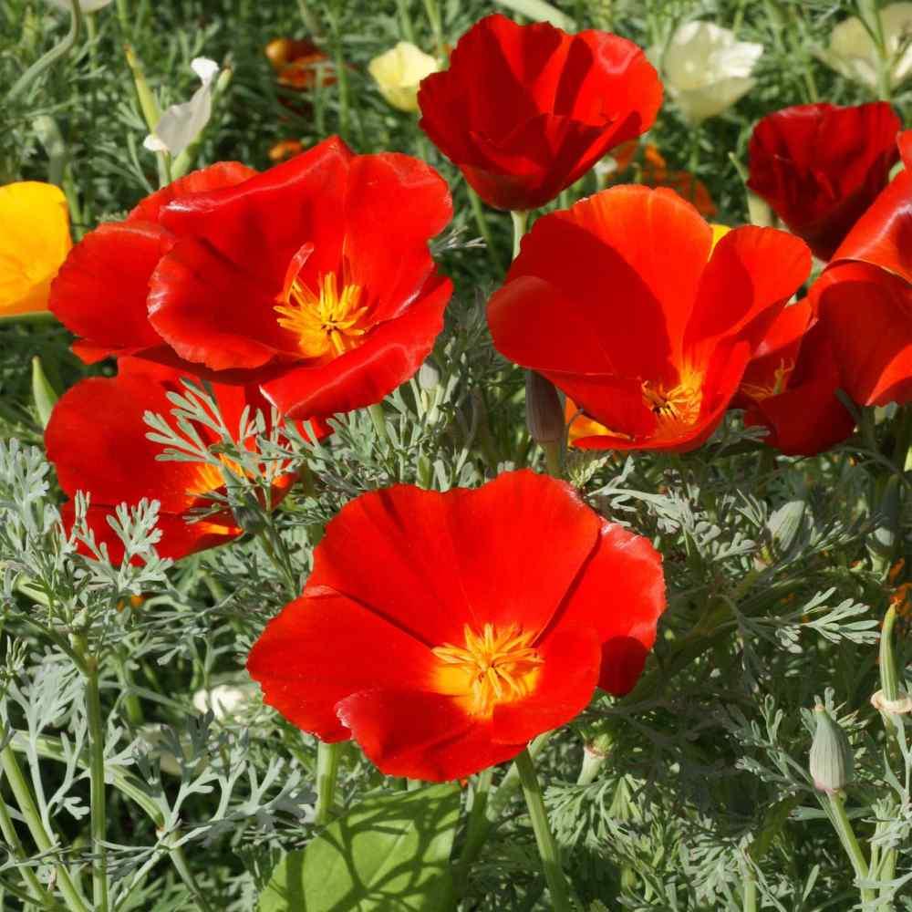 Poppy Seeds Red California Poppy Flower Seed
