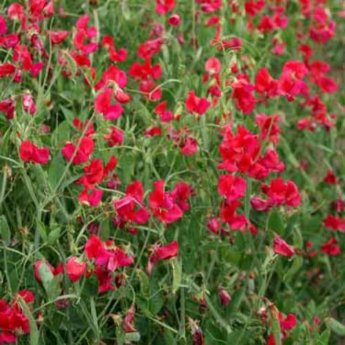 sweet peas seed  everlasting sweet pea red pearl flower seeds, Natural flower